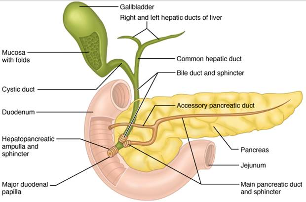 Pancreas diagram